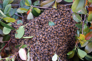 Bee Swarm on Bush
