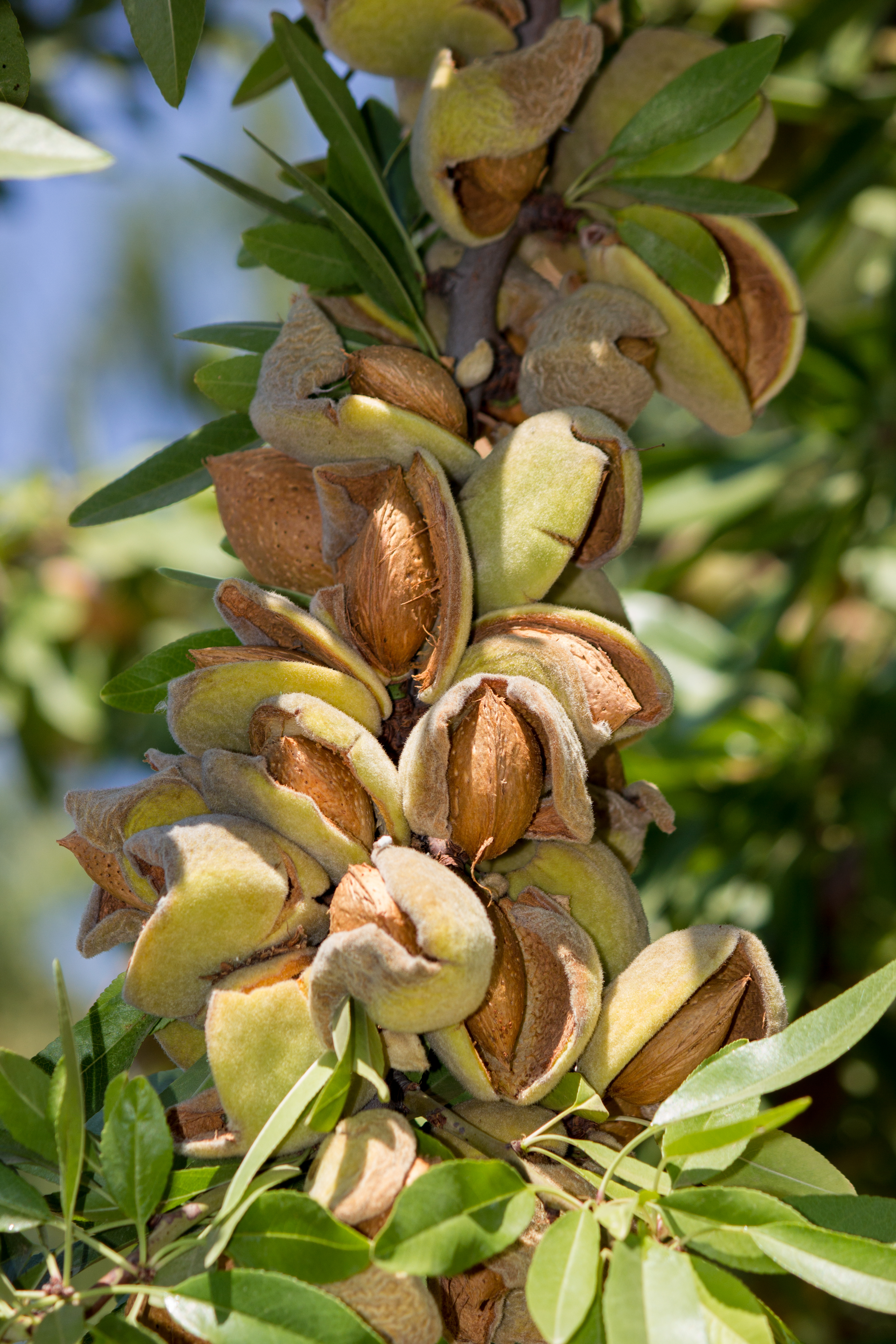 Hull Split. The Almond Harvest is Coming